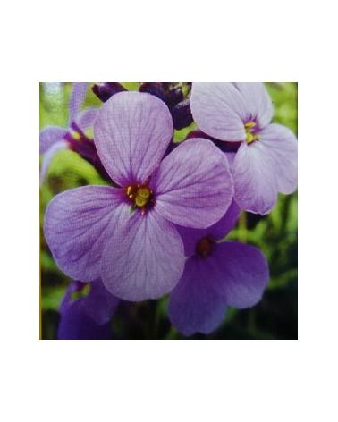 Schöterich, violetter