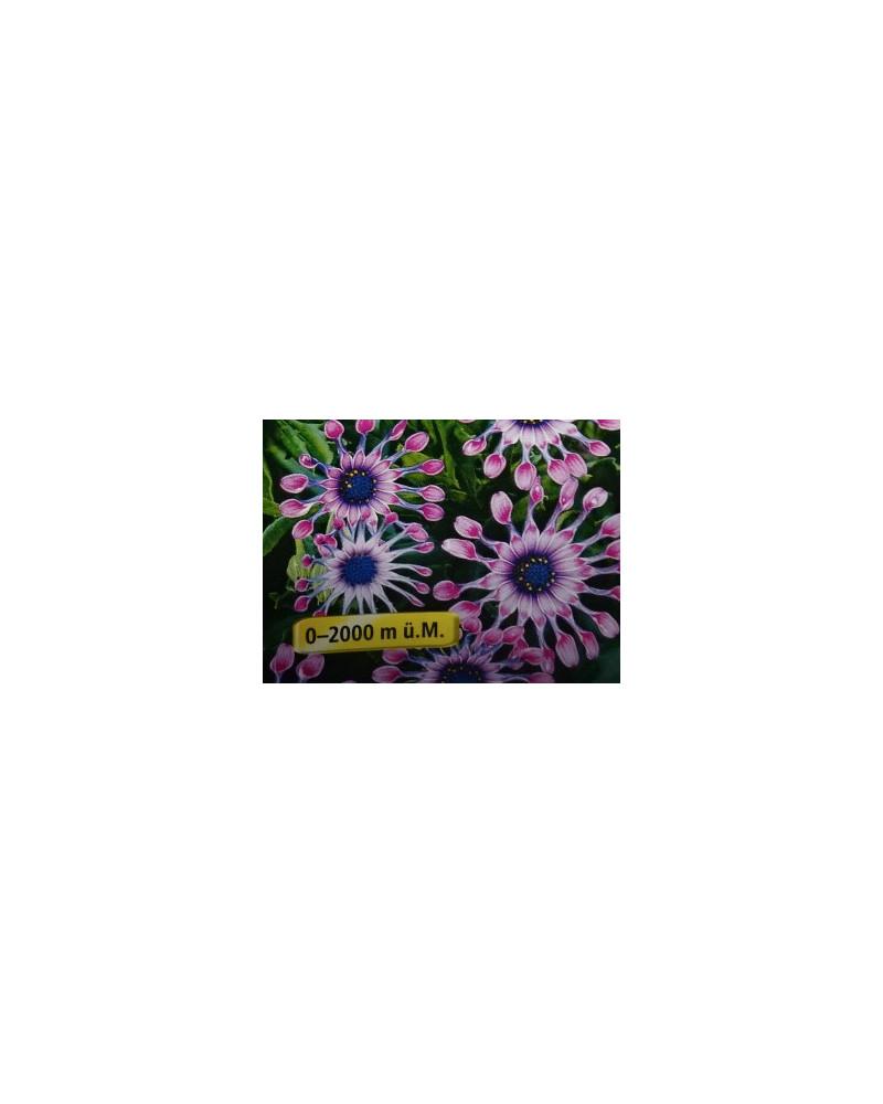 Osteospermum - Spezielle Blütenform
