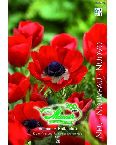 Anemone hollandica