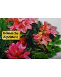 Alpenrose, rostblättrige