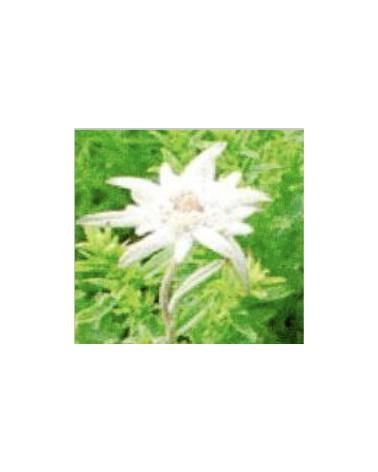 Leontopodium camtschaticum, Kamtschatkaedelweiss