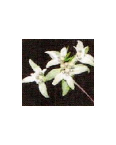 Leontopodium hayachinense , Chinesisches Edelweiss