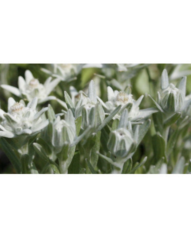 Leontopodium alpinum Edelweiss Zugspitze