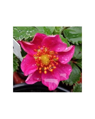 Erdbeere Rubra, Blüte Anfang Mai