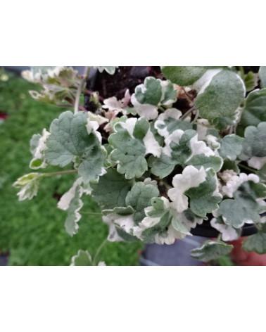 Glechoma, Wasserfallpflanze