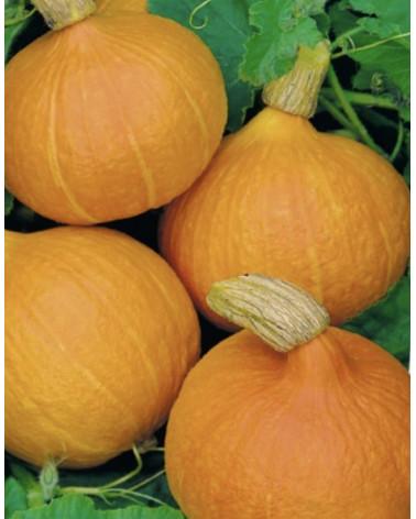 Speisekürbis orange