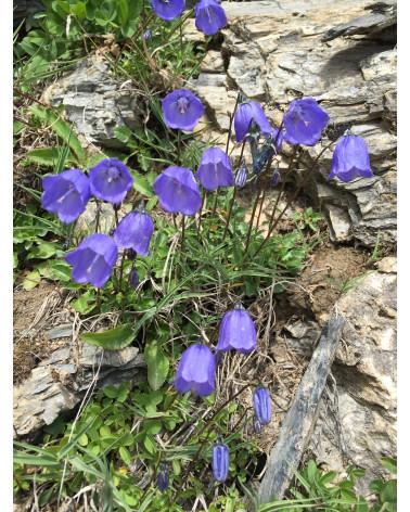 Campanula cochleariifolia, Zierliche Glockenblume