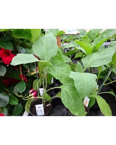 Aubergine, Jungpflanze