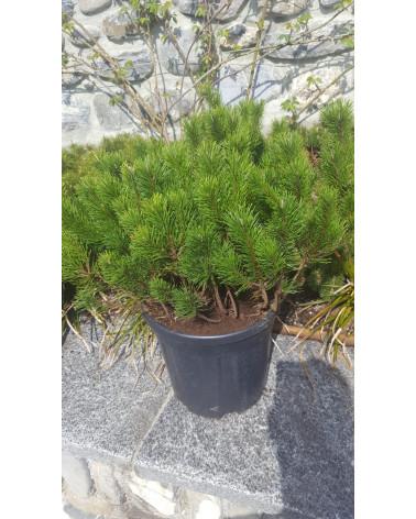 Legföhre Pinus mugo pumilio