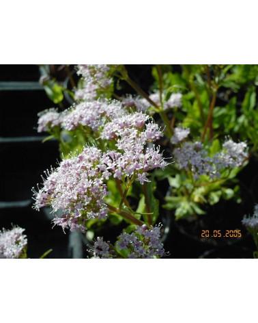 Valeriana montana, Bergbaldrian