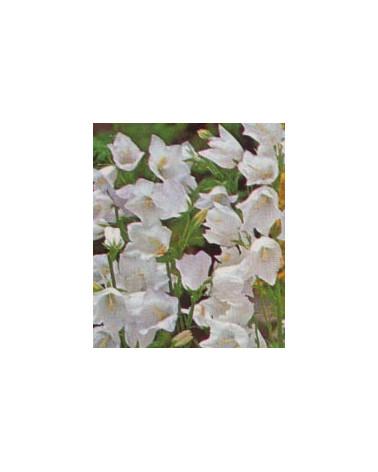 Pfirsichblättrige Glockenblume weiss, Campanula persicifolia Alba