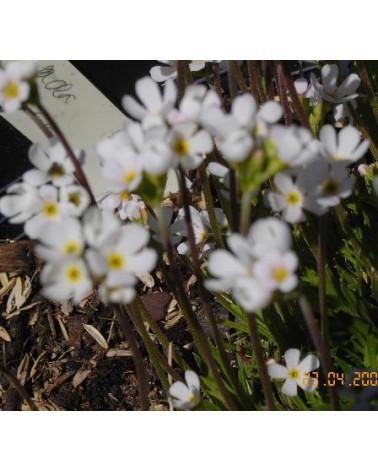 Cottischer Mannsschild, Androsace brigantiaca Pflanze