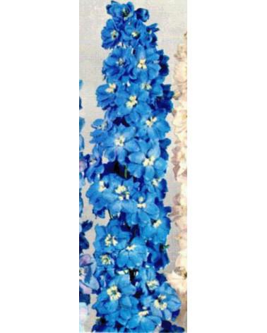 Delphinium Pacific-Hybriden Blue Bird, Rittersporn