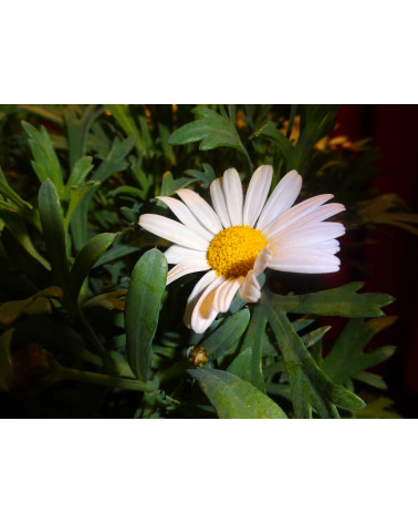 Chrysanthemum maximum Silberprinzesschen, Grossblumige Margrite