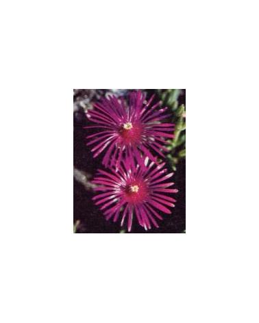 Mehrjährige Mittagsblume, Delosperma cooperi
