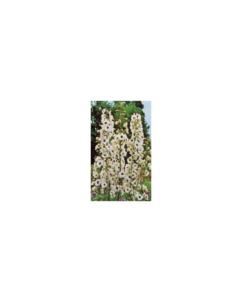 Delphinium Pacific-Hybriden Percival, Rittersporn