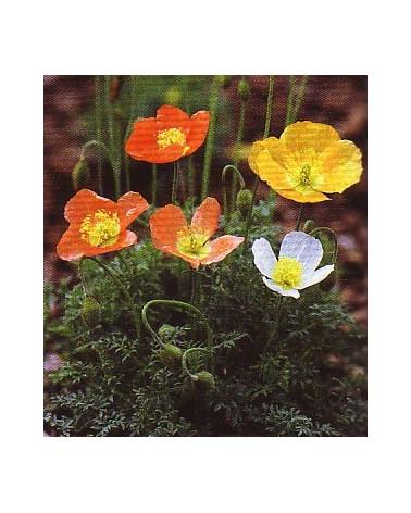 Papaver alpinum, Alpenmohn
