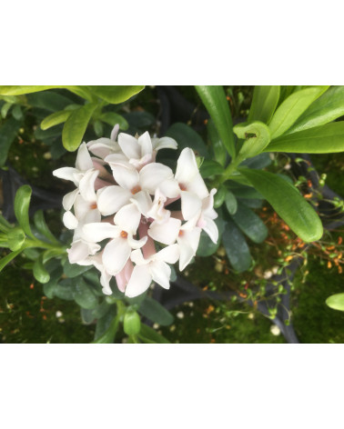 Ewiger Duft-Seidelbast, Daphne transatlantica