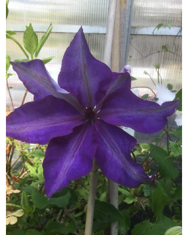 Clematis The President, Waldrebe