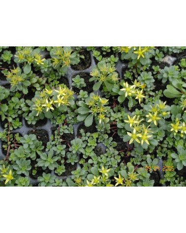 Sedum middendorfianum, Mauerpfeffer