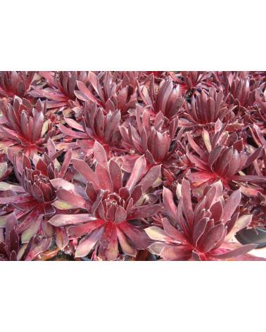 Sempervivum Hybriden Red Delta, Hauswurz