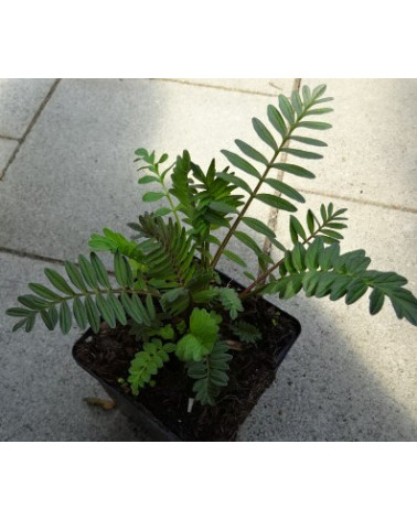 Baldrian Echter, Valeriana officinalis