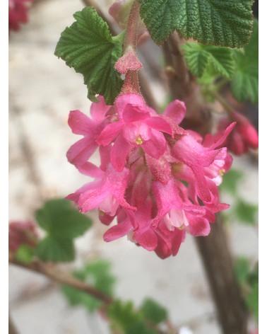 Blutjohannisbeere, Ribes sanguineum