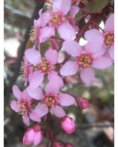 Rote Traubenkirsche, Prunus padus Colorata
