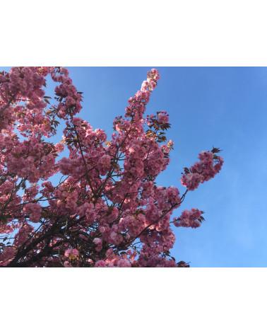 Prunus serrulata Kanzan, Japanische Zierkirsche