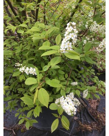 Davoser Kirsche - Prunus padus