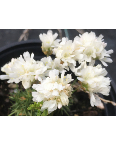 Weisse Zwerg-Grasnelke - Armeria juniperifolia Alba