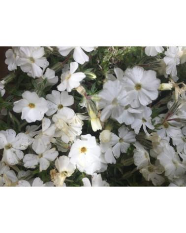 Phlox douglasii White Admiral, Polsterphlox