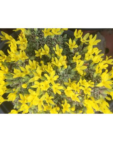 Graublättrige Goldprimel, Douglasia vitaliana ssp. cinerea
