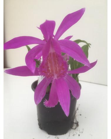 Tibet-Orchidee Tongariro, Pleione Tongariro