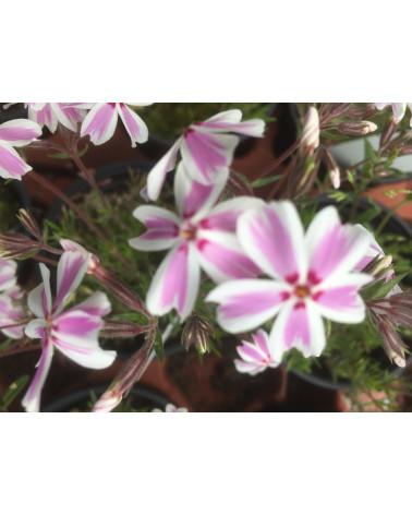 Phlox subulata Candy Stripes, Teppichphlox