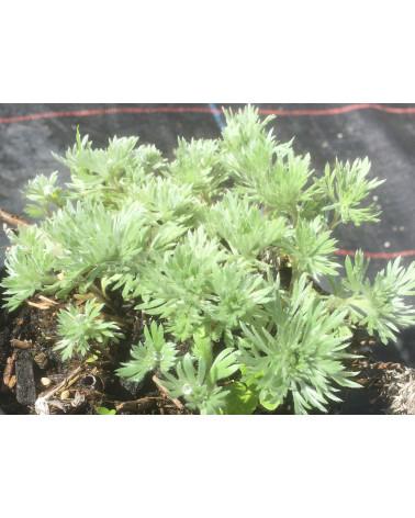 Silber-Wermut, Artemisia schmidtiana Nana