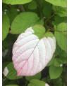 Buntblättriger Sommer-Kiwi, Actinidia kolomikta