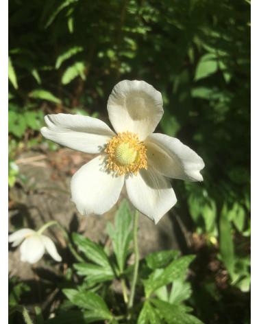 Wald-Anemone, Anemone sylvestris