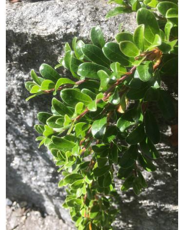 Bärentraube, Arctostaphylos uva-ursi