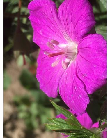 Geranium sanguineum Max Frei, Blut-Storchenschnabel