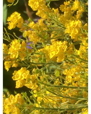 Alyssum saxatile Compactum, Steinkraut