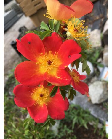 Kapuzinerrose, Rosa foetida Bicolor