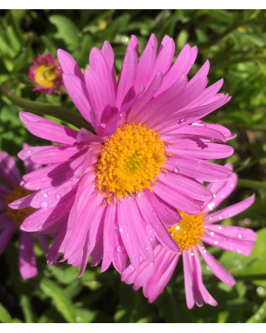 Aster alpinus Happy End, Alpenaster rosa