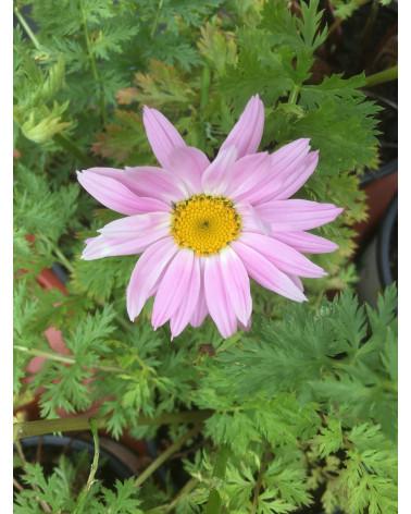 Chrysanthemum coccineum Robinson Rosa, Junimargrite