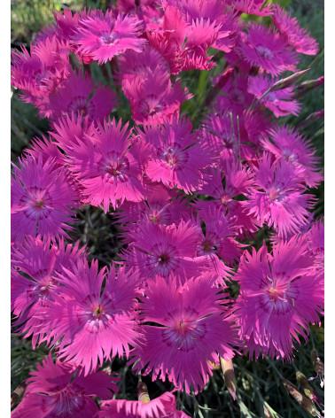 Pfingstnelke, Dianthus gratianopolitanus Evening Star