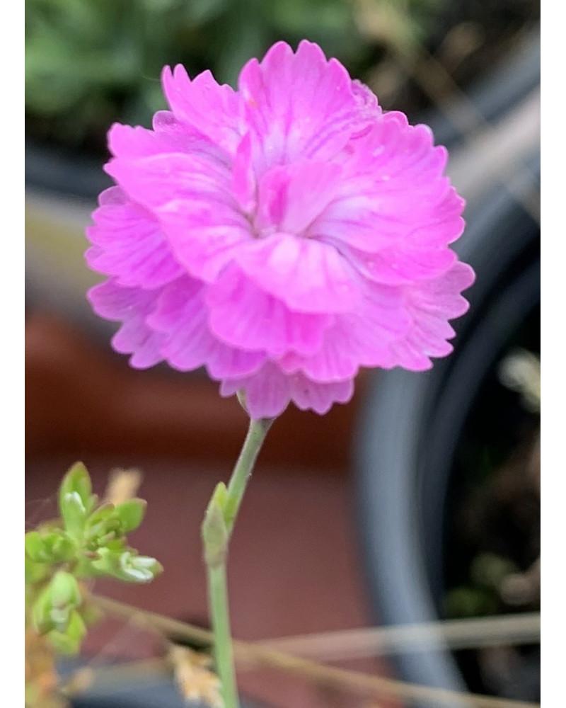 Pfingstnelke, Dianthus gratianopolitanus Pike`s Pink