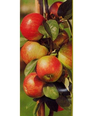 Apfel Gravensteiner Niederstamm