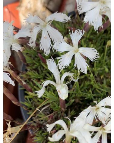 Polsternelke, Dianthus Hybr. Berlin Snow