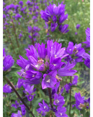 Campanula glomerata Speciosa, Knäuelglockenblume