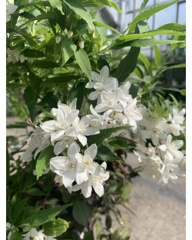Deutzie, Maiblumenstrauch, Deutzia gracilis